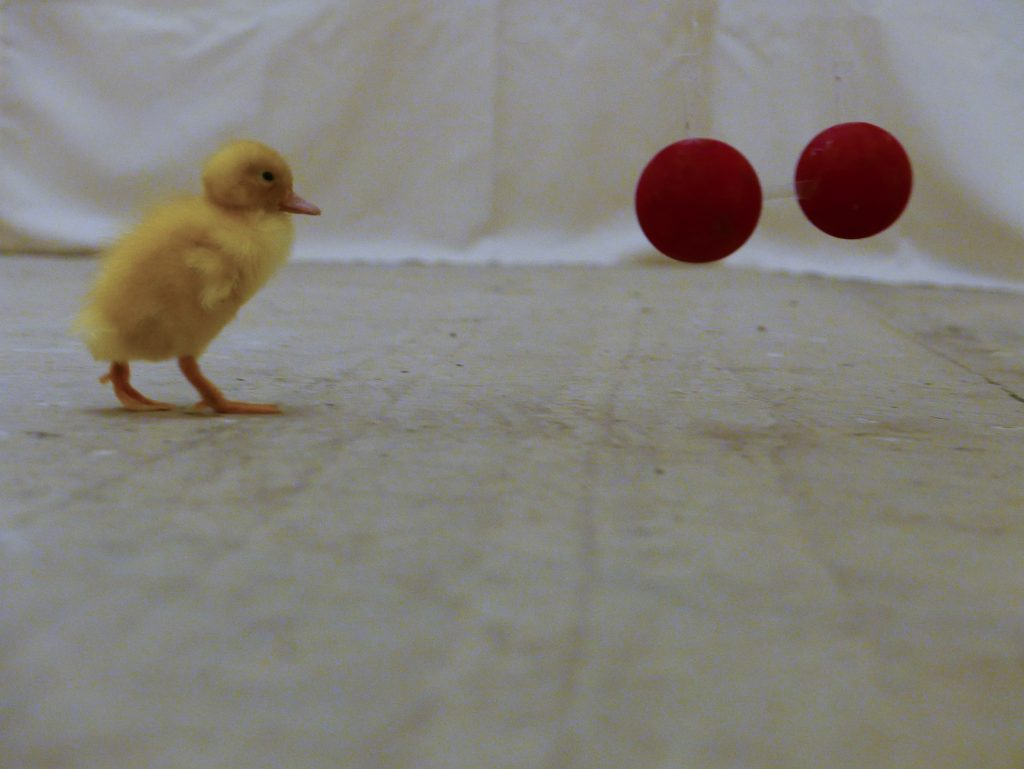 A duckling imprinted on two cubes approaches two spheres during testing. [Credit: Antone Martinho]